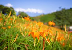 Beautiful orange daylily flower farm on Liushidan mountain Sixty Rock Mountain with blue sky and cloud in Taiwan Hualien Fuli,. Close up, copy space stock photography