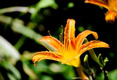 Beautiful Orange Daylily Hemerocallis in summer at a botanical garden. stock photos