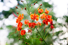 Beautiful orange delonix regia flower or Flam-boyant, The Flame Royalty Free Stock Photography