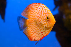Beautiful orange diskus fish in aquarium. Over blue background Royalty Free Stock Photo