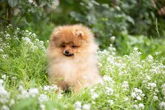Beautiful orange dog - pomeranian Spitz. Puppy pomeranian dog cute pet happy smile playing in nature on in flowers. On the grass royalty free stock images