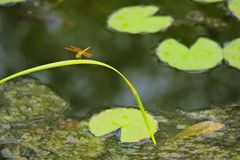 A beautiful orange dragonfly perched on light green reed, in an algae-ridden pond in Thailand. royalty free stock images
