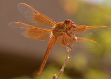 Beautiful Orange Dragonfly Perches in the Garden Stock Images