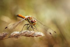 Beautiful orange dragonfly on yellow background close up. Sympetrum sanguineum, red dragonfly, ruddy sympetrum, ruddy stock images