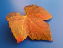 Beautiful orange fall leaf over blue background. Harmonic autumn colors. Orange and brown colored fall leaf over blue background. Harmonic autumn colors.Time stock photography