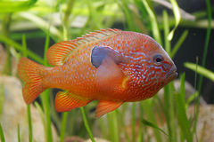 Beautiful orange fish Royalty Free Stock Photo