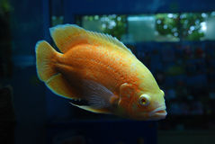 Beautiful orange fish Royalty Free Stock Photo