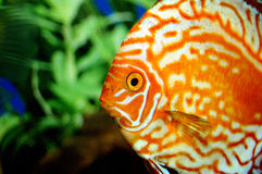 beautiful orange fish Royalty Free Stock Photos