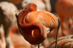 Beautiful orange flamingo. Cleaning feathers Royalty Free Stock Photography