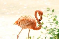 beautiful orange flamingo royalty free stock photo