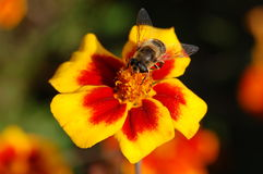 Beautiful orange flower. With a bee on it royalty free stock photography