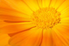 Beautiful orange flower Royalty Free Stock Photography