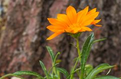 Beautiful orange flower on a background of a bark of a tree close-up stock photo