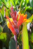 Beautiful orange flower of blooming canna close up Stock Images