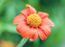 Beautiful orange flower blooming with rain drop on nature background. royalty free stock images