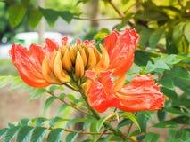 Beautiful orange flower butea monosperma. Selective focus and Close up images Royalty Free Stock Photo