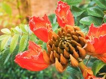 Beautiful orange flower butea monosperma. Selective focus and Close up images Stock Photography