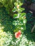 beautiful orange flower garden cayenne royalty free stock image