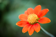 Beautiful orange flower in the garden. The petals of the bloom are fresh and bright attracting the local honey bees Stock Image