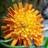 A beautiful orange flower in the garden. A beautiful but strange looking flower Stock Images