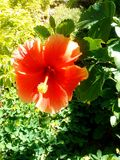 beautiful orange flower garden cayenne royalty free stock images