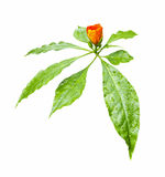 Beautiful orange flower with green leaf in drops of water Royalty Free Stock Images