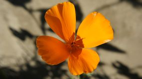 A beautiful orange flower on a grey background with shadows royalty free stock photography