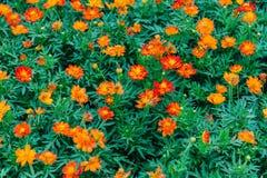 Beautiful Orange flower Royalty Free Stock Images