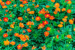 Beautiful Orange flower Royalty Free Stock Images