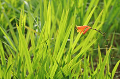 Beautiful orange flower and meadow green grasses Royalty Free Stock Images