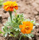 Beautiful orange flower in nature. In the park in nature Royalty Free Stock Photos