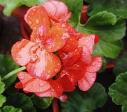 Orange Pelargonium zonale stock photography