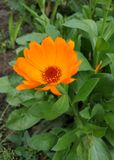 Beautiful orange flower. Trying to stand on wind. royalty free stock photos