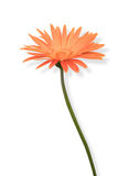 Beautiful orange flower on white background isolated Stock Photography