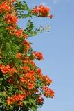 Beautiful orange flowers Royalty Free Stock Images