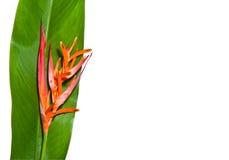 Beautiful orange flowers. (Bird of paradise) isolated on white background Royalty Free Stock Image