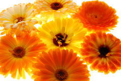 Beautiful orange flowers Royalty Free Stock Photography