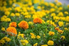 Beautiful orange flowers Royalty Free Stock Photo