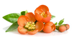 Beautiful orange flowers with buds Stock Photography