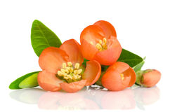 Beautiful orange flowers with buds Royalty Free Stock Image