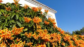 Beautiful orange flowers cover a wall in front of a villa in Spain royalty free stock photography