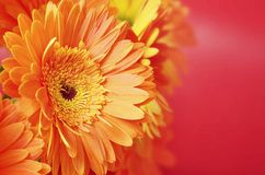 Beautiful orange flowers Royalty Free Stock Image