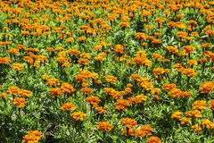 Beautiful orange flowers with green leaf Royalty Free Stock Photography