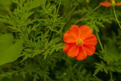 Beautiful orange flowers isolated with green leaves stock photography