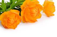 Beautiful orange flowers isolated on white Royalty Free Stock Images