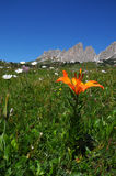 Beautiful Orange Flowers near Passo Gardena, Dolomites, Italy. Royalty Free Stock Images