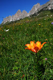 Beautiful Orange Flowers near Passo Gardena, Dolomites, Italy. Stock Images