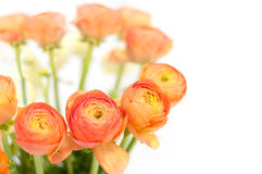 Beautiful orange  flowers. Beautiful flowers on white background Royalty Free Stock Photo