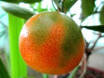 A juicy fruit of TANGERINE during maturing stock image