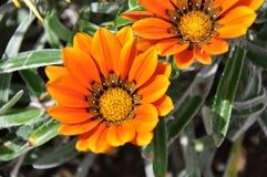 Gazania flower of Fuerteventura Royalty Free Stock Photography